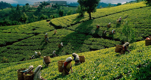 Special Teagarden Trip to Sylhet & Srimongal by Road (2 Night & 3 Days)